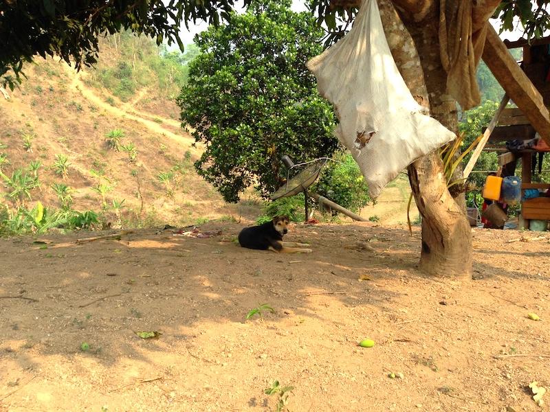 カレン族の村の犬