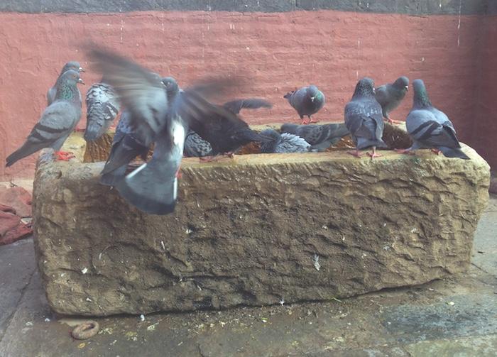 ネパールのハト達