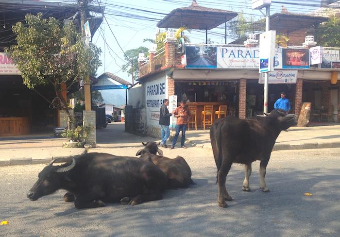 ポカラの道を塞ぐ牛