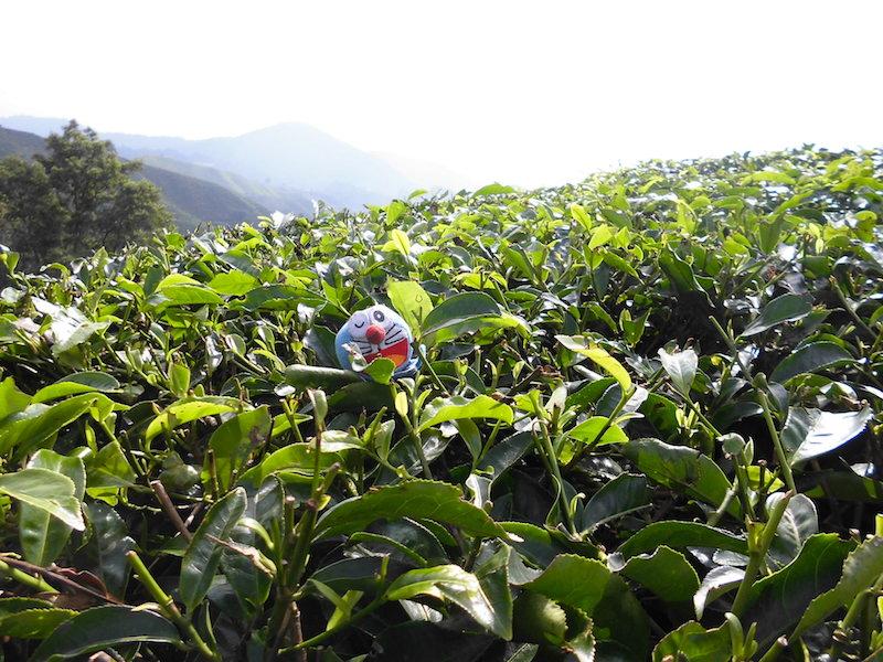 キャメロンハイランドの紅茶畑